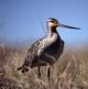 Alaskan Bird Makes 7000-mile Trek!